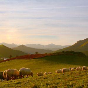 Moutons dans les prés à St Martin d'Arrossa